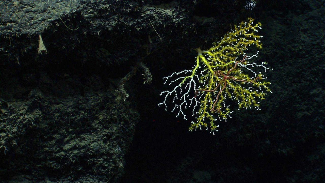 A white octocoral bush being overtaken by yellow zoanthids Photo