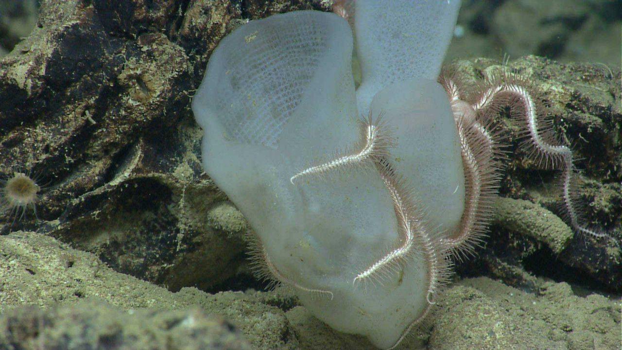 Two glass vase sponges and two pink brittle stars. Photo