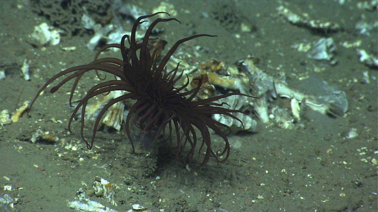 A brown cerianthid tube anemone. Photo