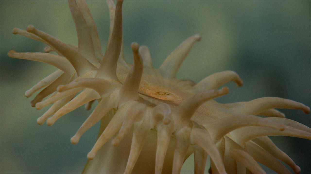 Looking across the top of a brownish-yellow anemone. Photo