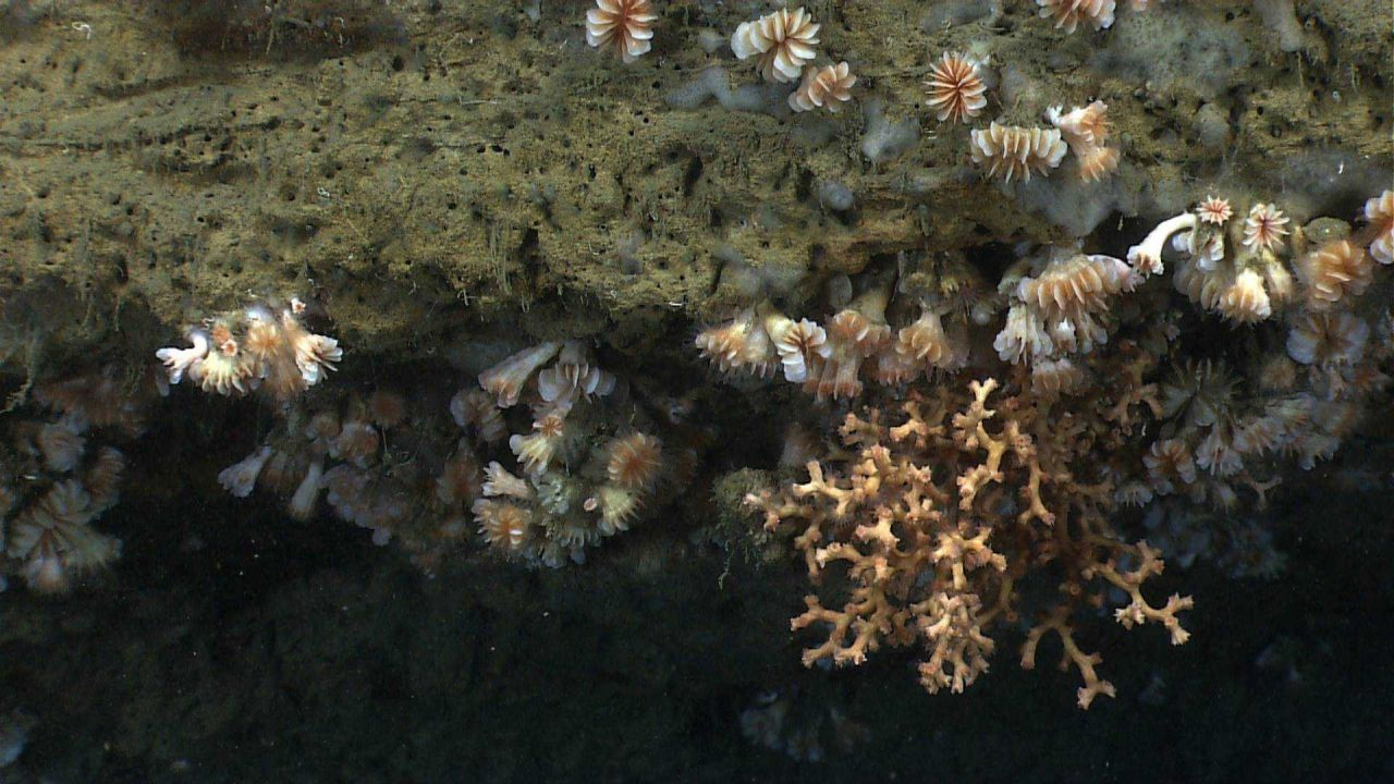 Cup corals, Lophelia pertusa, and whitish gray sponges on a canyon wall. Photo