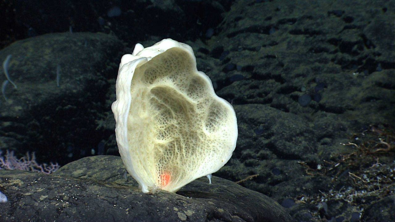A white sponge that looks like an ear on black rock outcrop. Photo