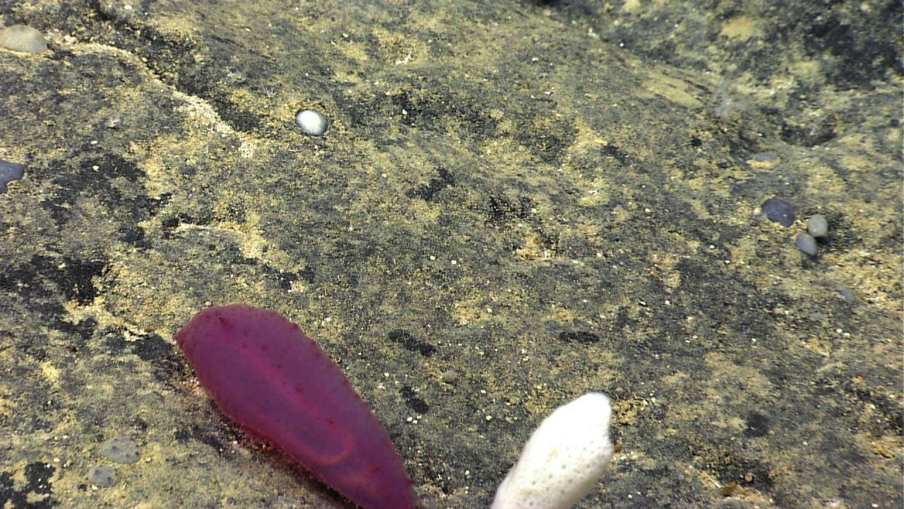 A reddish purple holothurian on a rock surface. Photo
