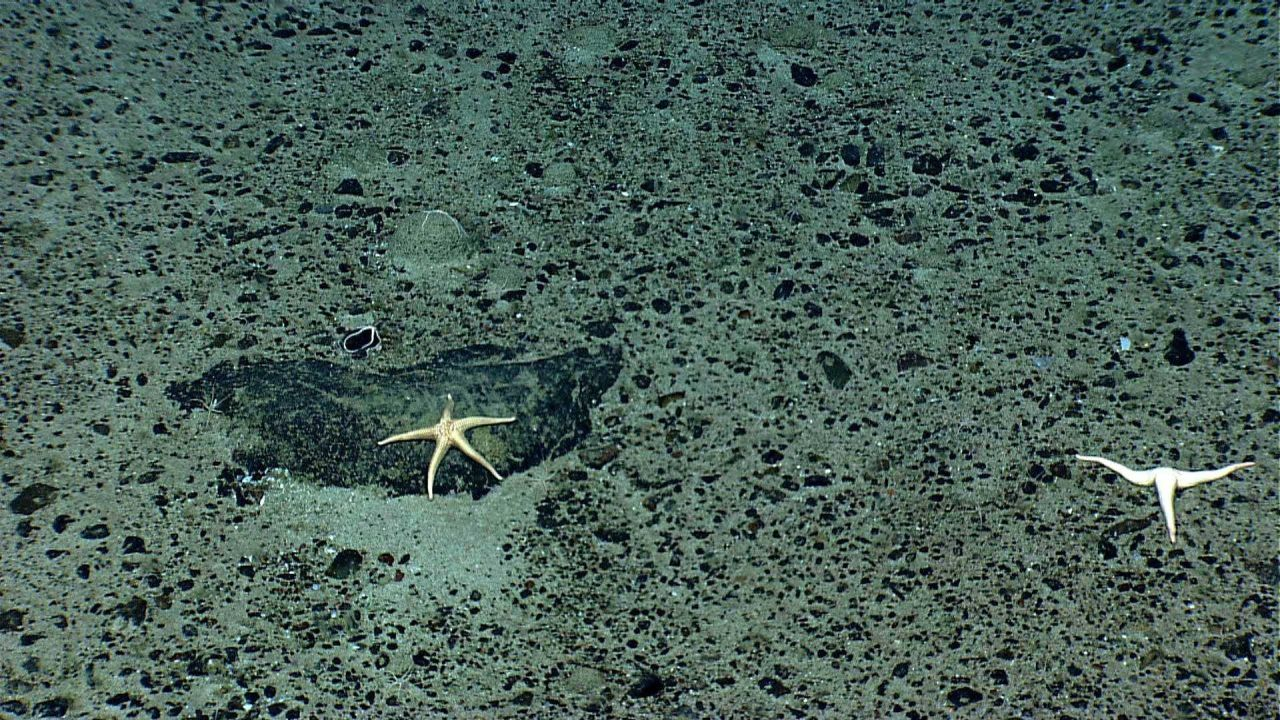 A white sea star on a boulder and a three-armed starfish on a pebble and sand substrate - both appear to be Neomorphaster forcipatus (Stichasteridae). Photo