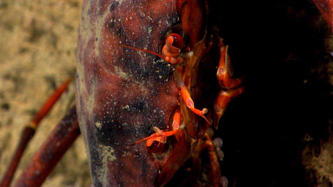 Closeup view of face area of red crab (Chaceon quinquedens) in vertical position. Photo