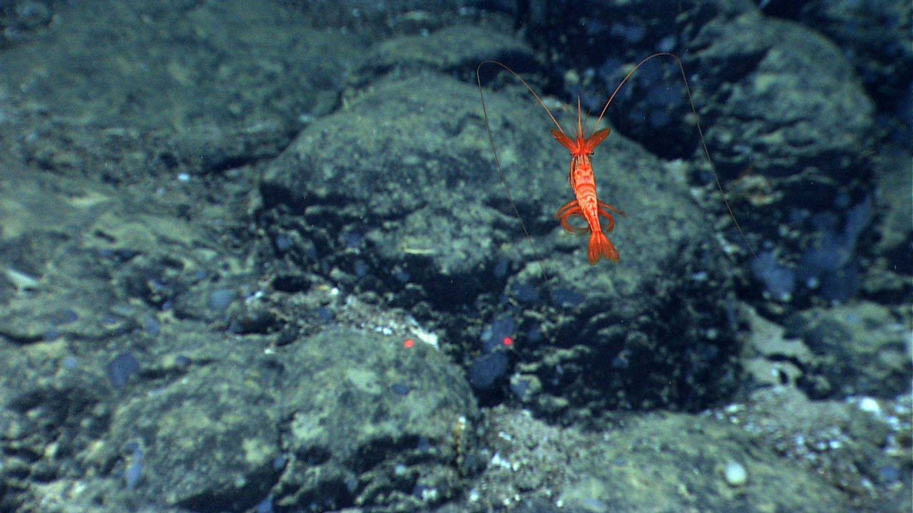 A red swimming shrimp over a boulder field. Photo