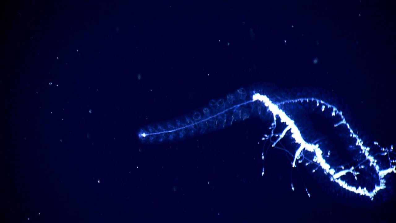 A siphonophore seen in the water column. Photo