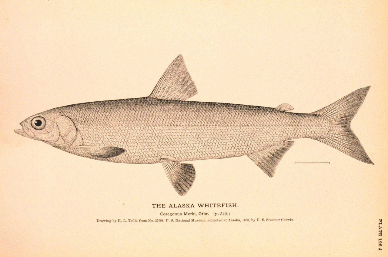 Browse high quality images photos pictures for Alaskan white fish