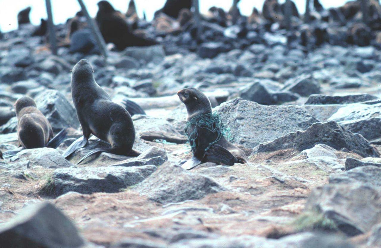 Entangled fur seal Photo