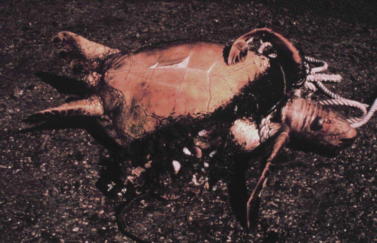 Sea turtle entangled in derelict gillnet Photo