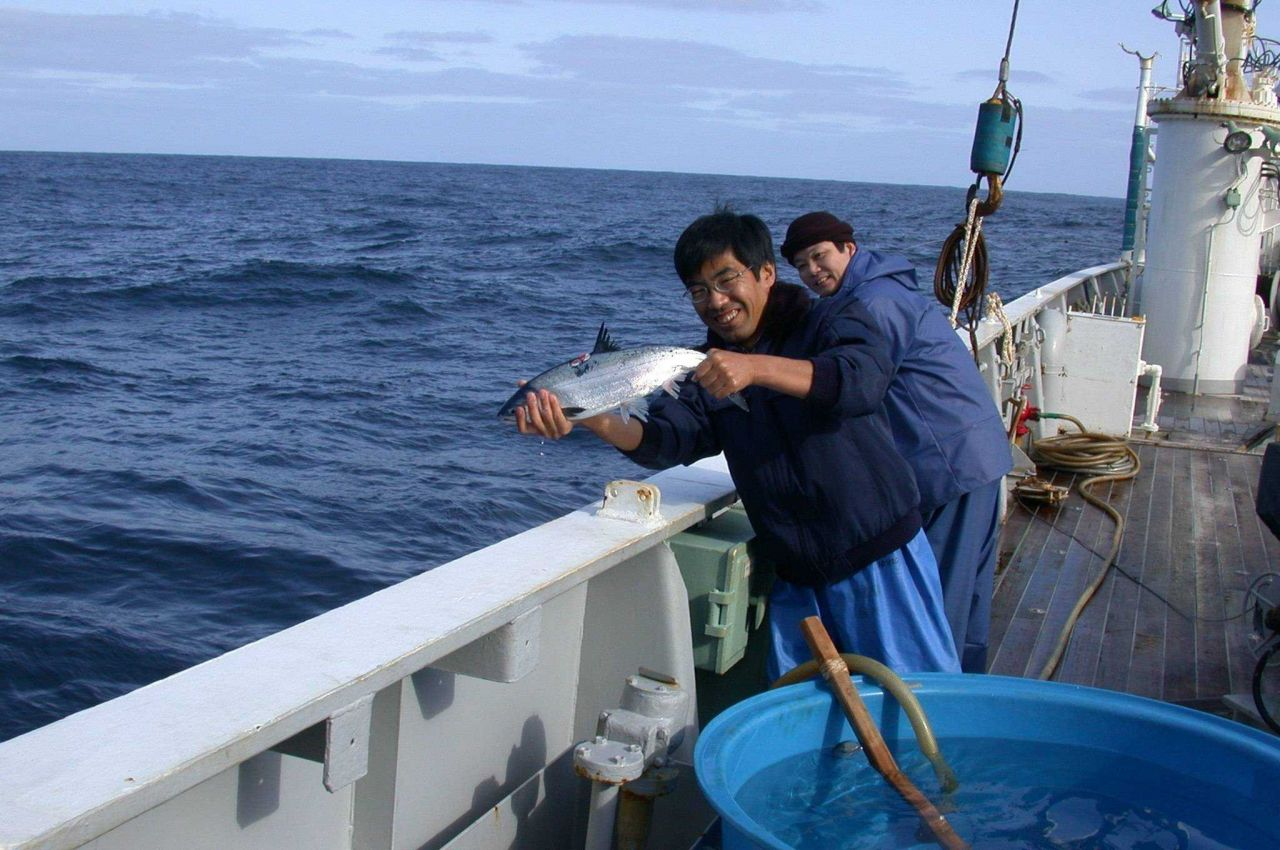 Tagging immature salmon on board the Japanese vessel KAIYO MARU Photo