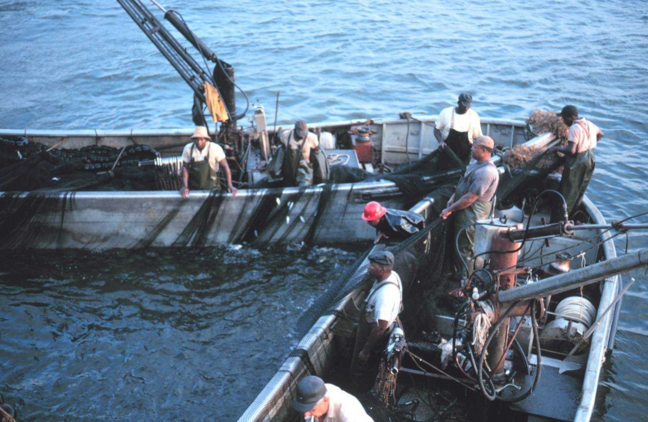 Menhaden fishing - closing the net and trapping the fish Photo