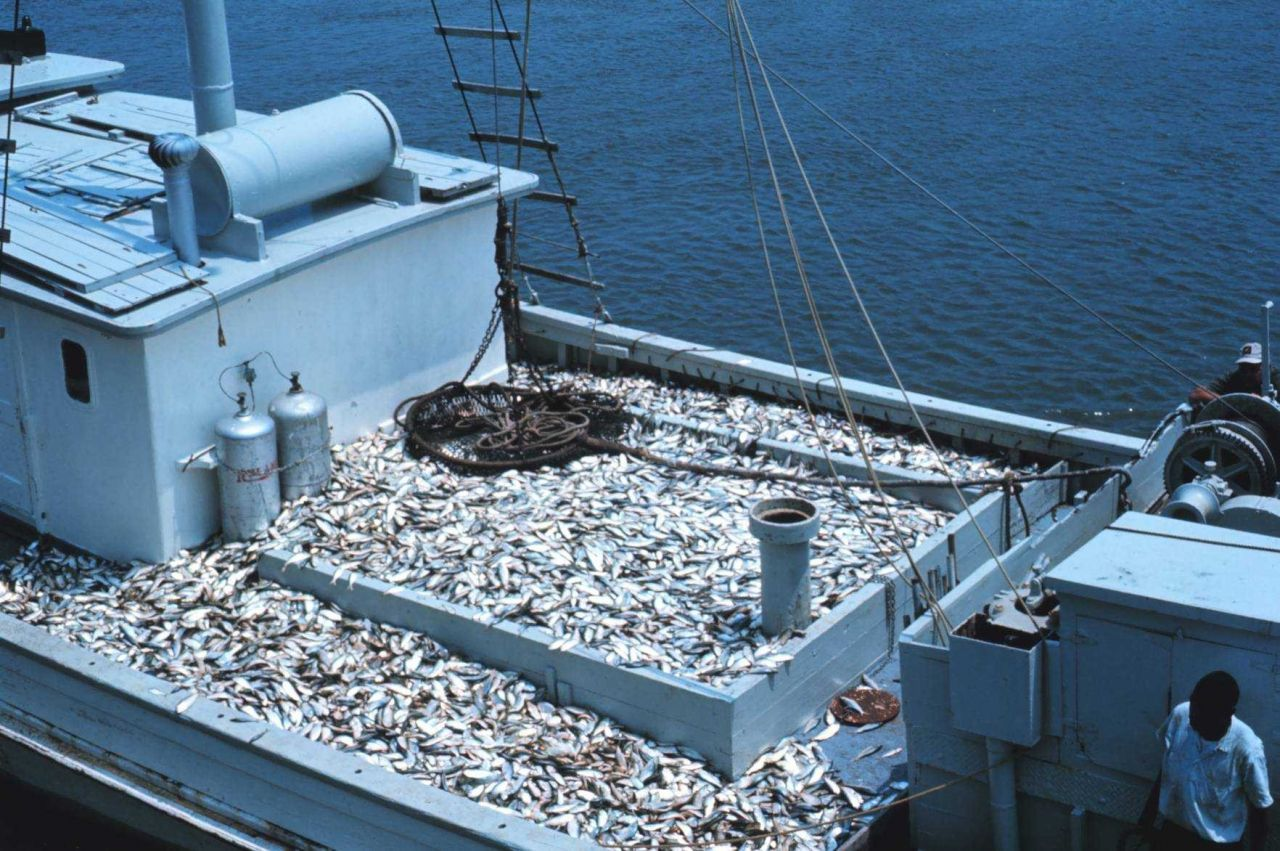 Menhaden fishing - a carrier vessel taking a load of menhaden to a processing plant Photo