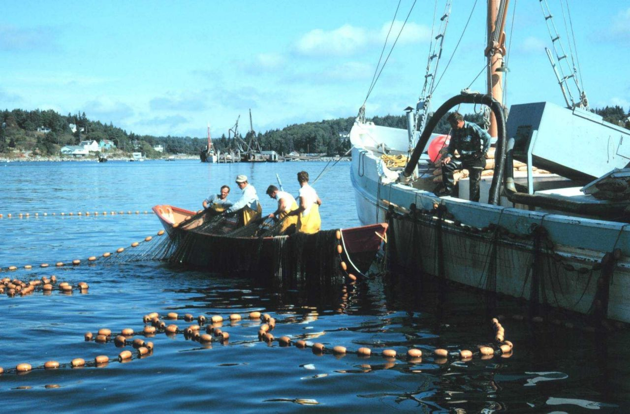 Purse seining for herring on the Maine coast Photo