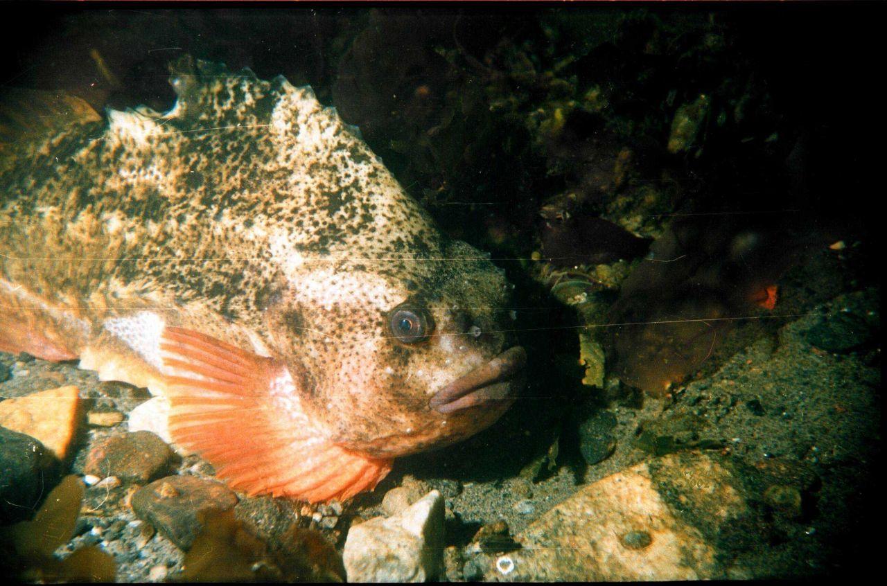 Rockfish (Cyclopterus lumptus) in the Barents Sea at Kola Bay at Belokanenka, Lat Photo