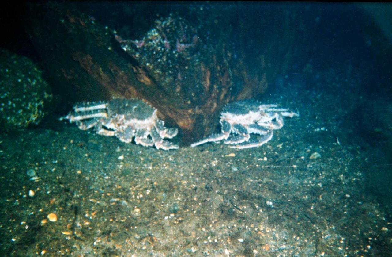 Red king crabs (Paralithodes camtschaticus) in the Barents Sea at Kola Bay at Retinskoe, Lat Photo