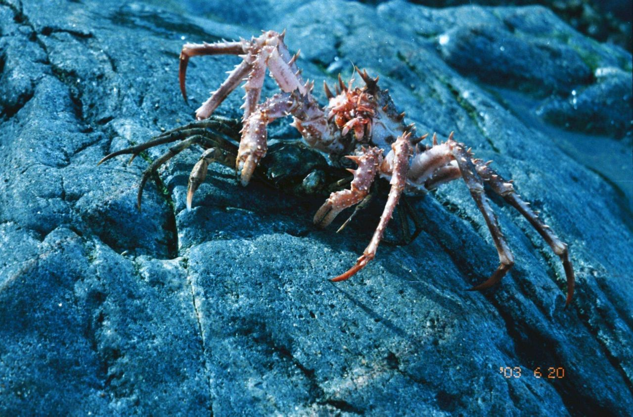 The domestic crabs (Lithodes maja) and (Hyas araneus) are becoming rare Photo