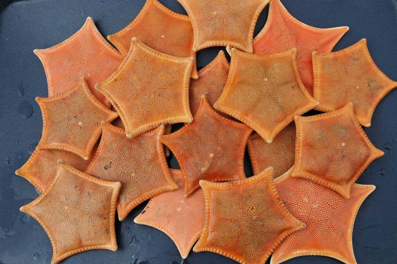 Bat stars brought up in a trawl haul. Photo