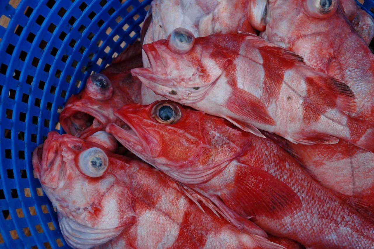 Rockfish obtained during trawl haul Photo