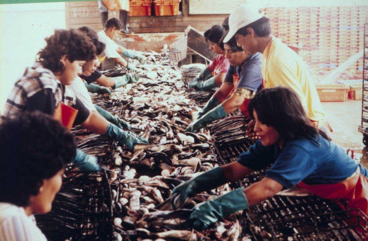 Sorting pilchard (Sardinops Sagax) and chub mackerel (Scomber japonicus) in the Paita refrigeration plant Photo