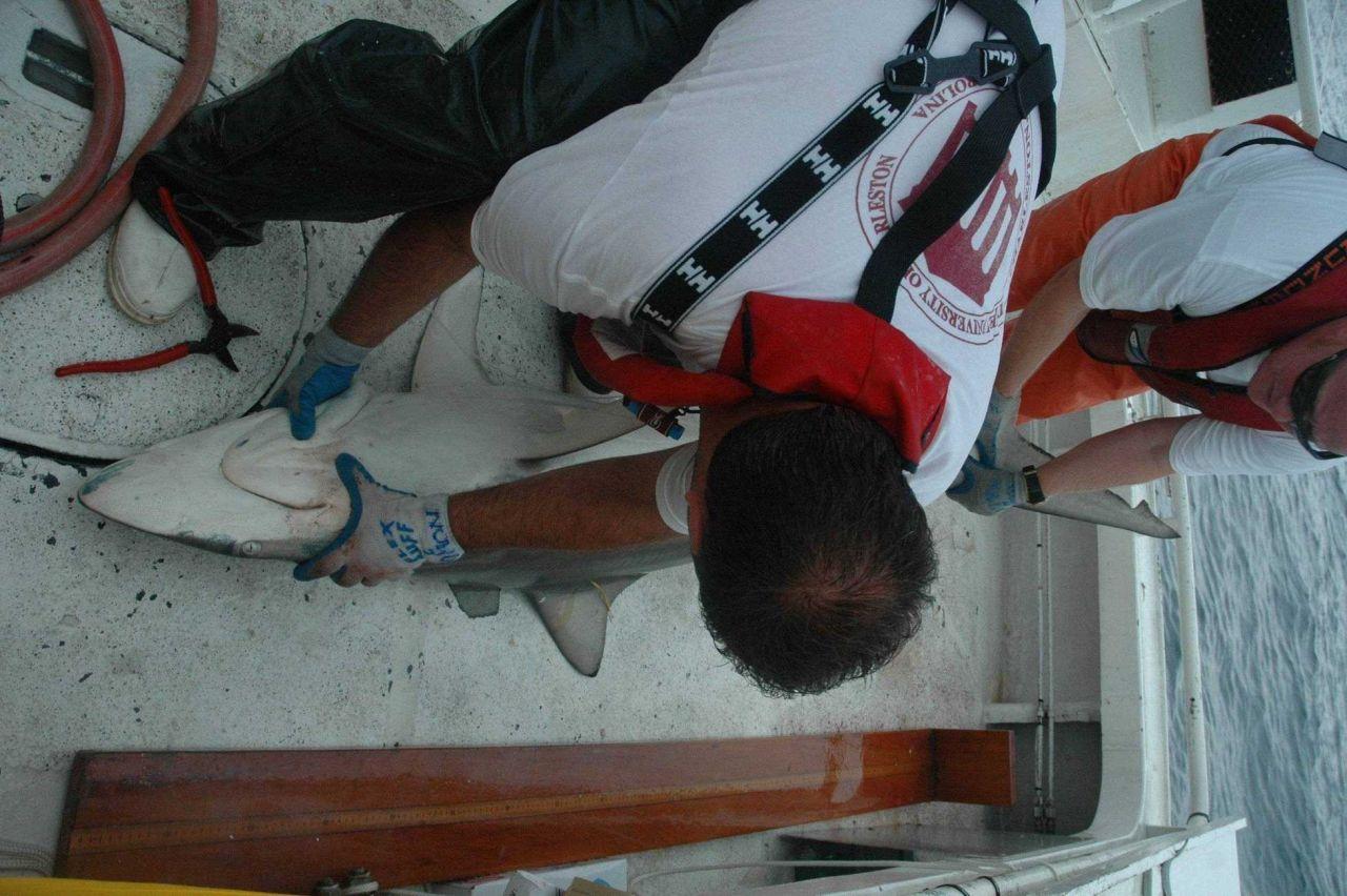 Preparing to measure moderately large shark. Photo
