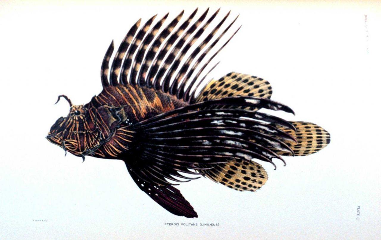 Pterois volitans (Linnaeus) Photo