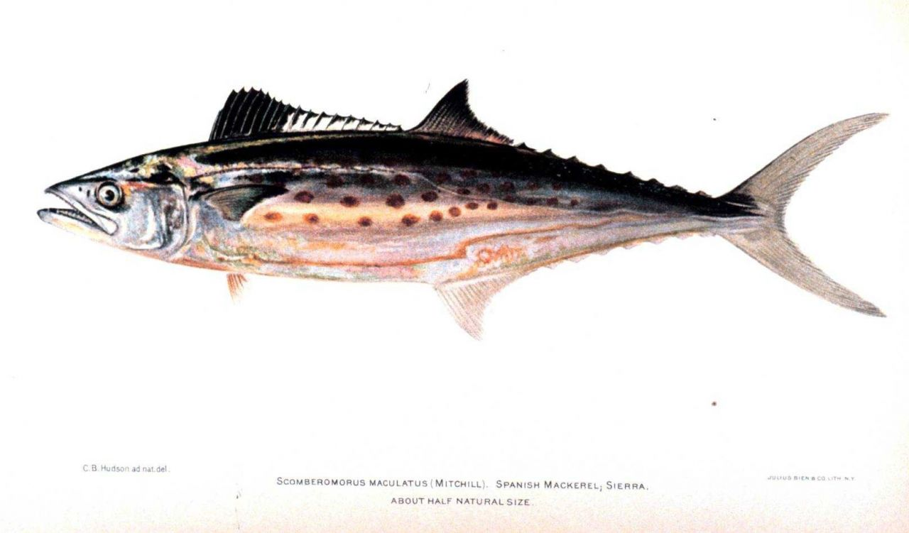 Scomberomorus maculatus (Mitchill) Photo
