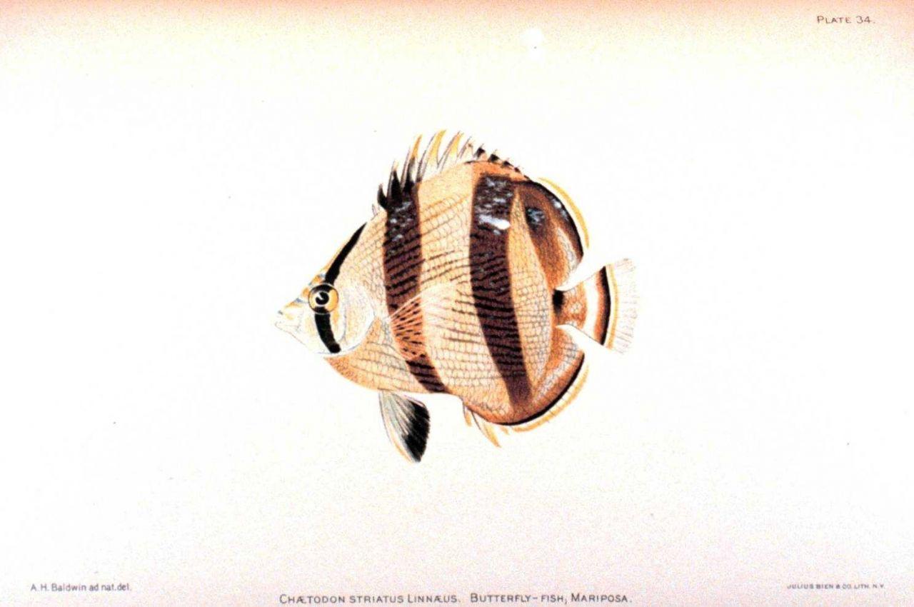Chaetodon striatus Linnaeus Photo