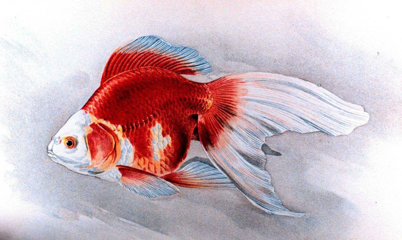 Ryukin goldfish, Plate XIX in: