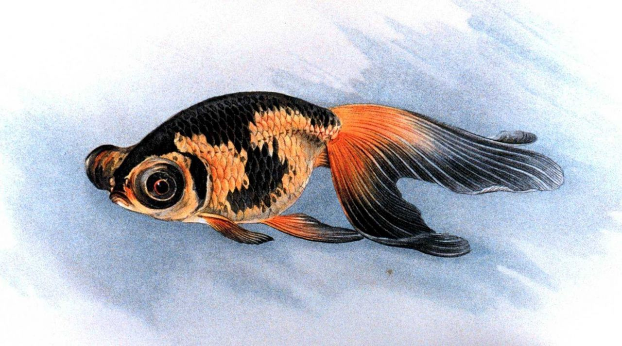 Deme Ranchu goldfish, Plate XXIII in: