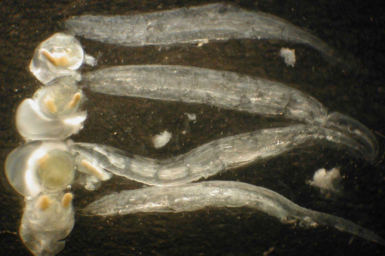 Zooplankton. Photo