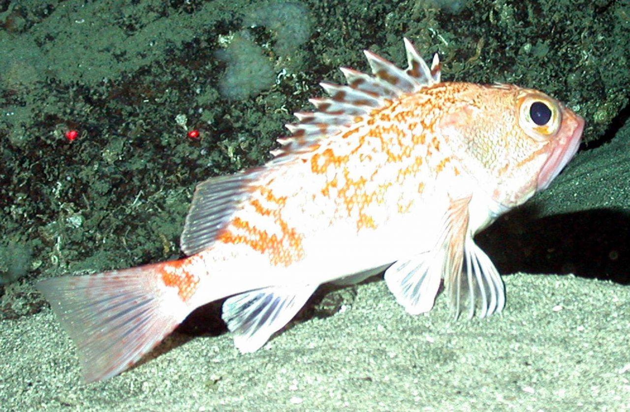 Scorpionfish Photo