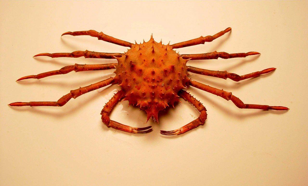 Inflated spiny crab ( Rochinia crassa ) Photo