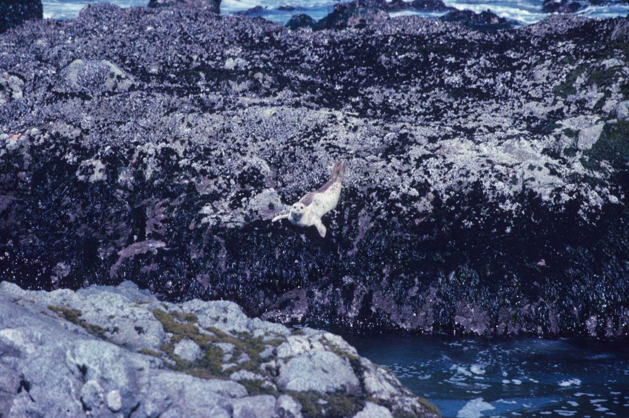 Pacific harbor seal (Phoca vitulina) diving to the water below from an algae-covered rock ledge exposed at low tide. Photo