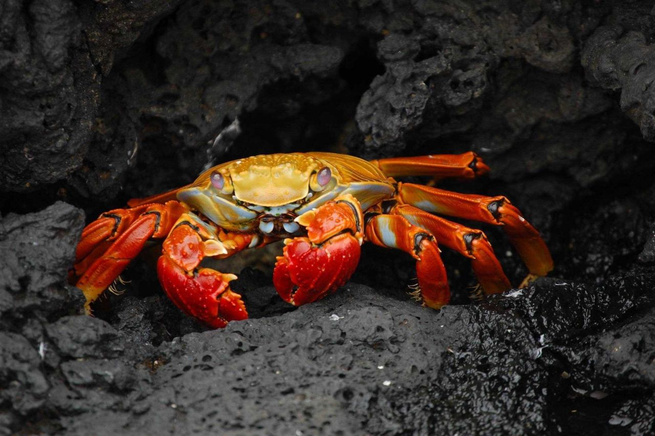Sally Lightfoot crab on a rock ledge Photo