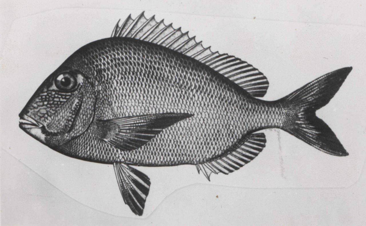 Scup porgy Photo