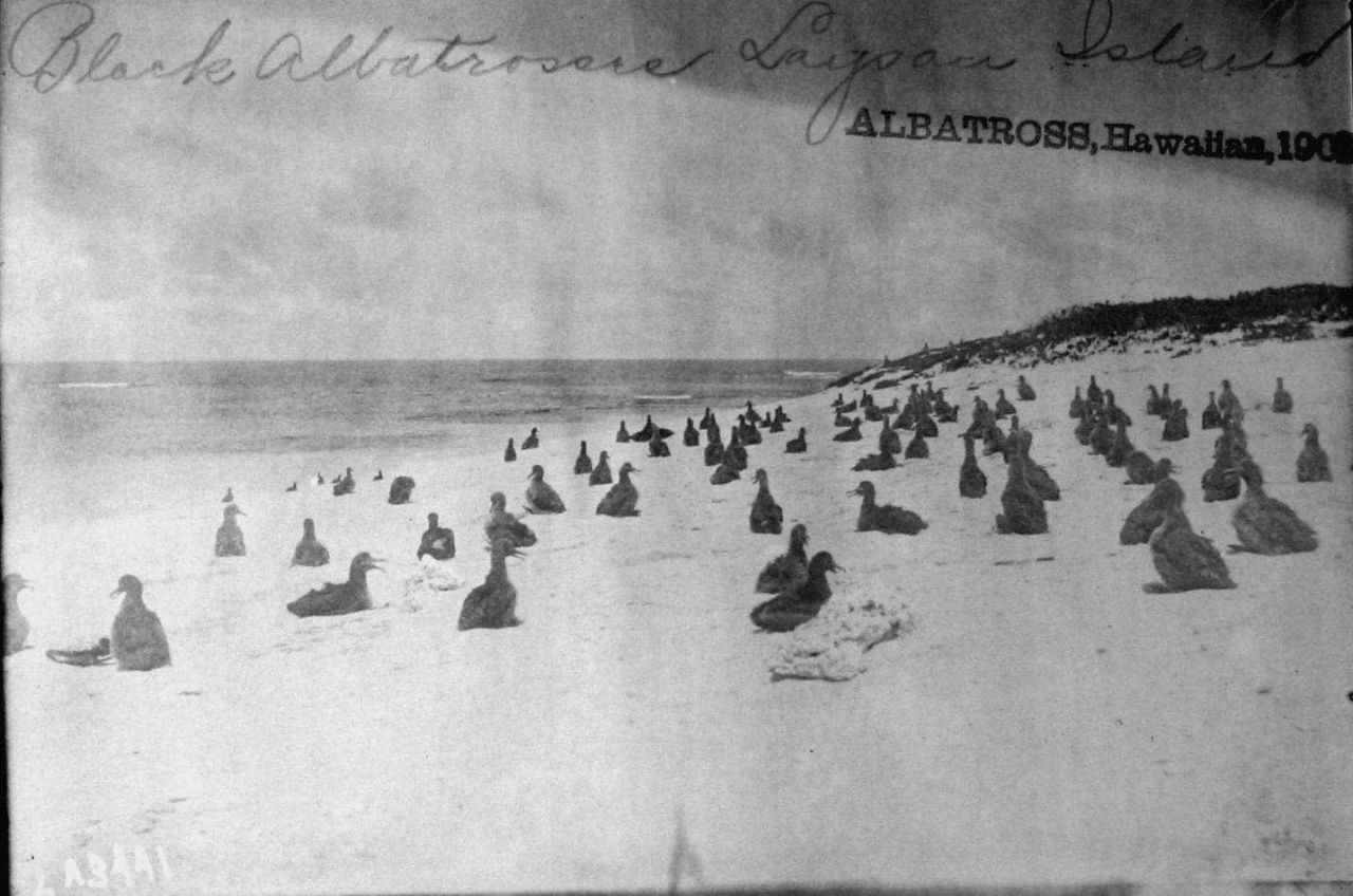 Albatross, HI, 1902, black albatrosses, Laysan Island. Photo