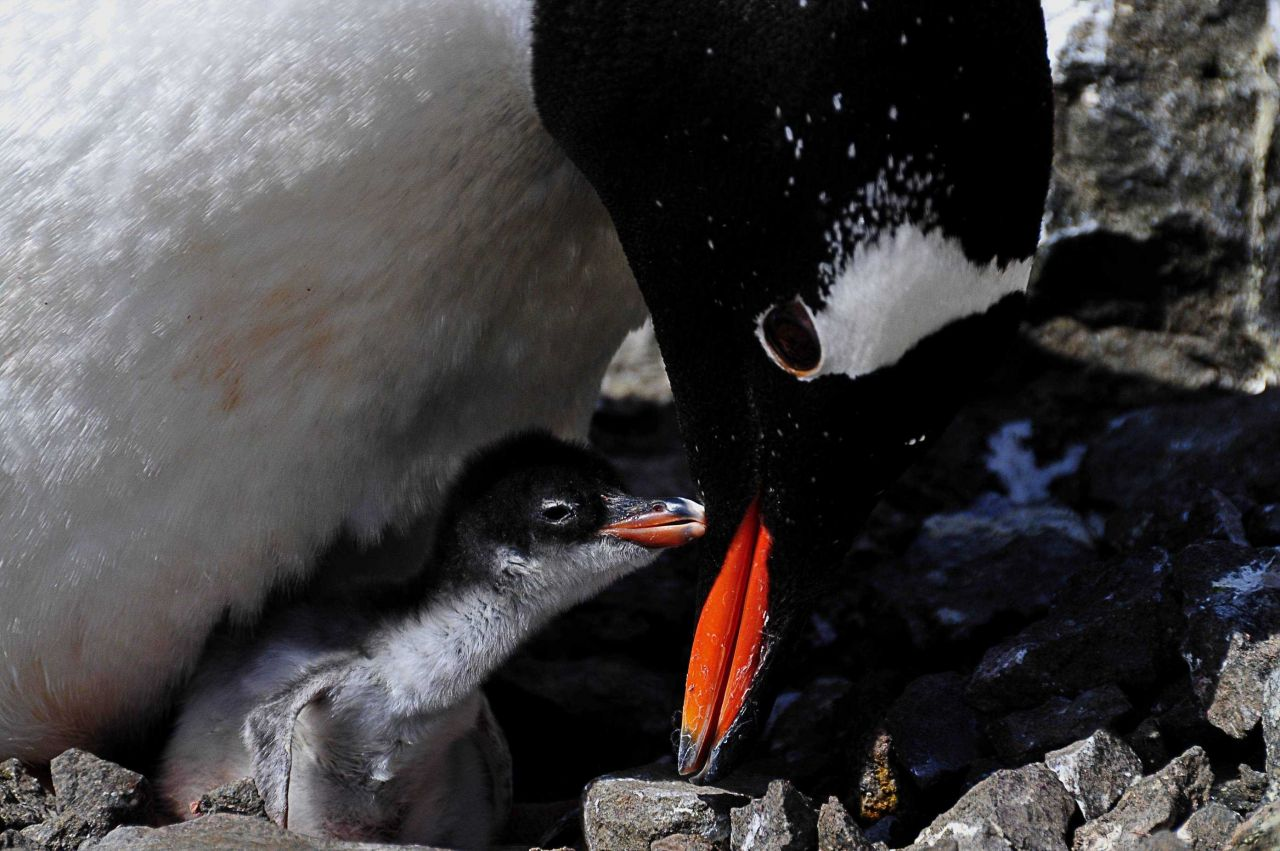 A gentoo penguin and chick. Photo