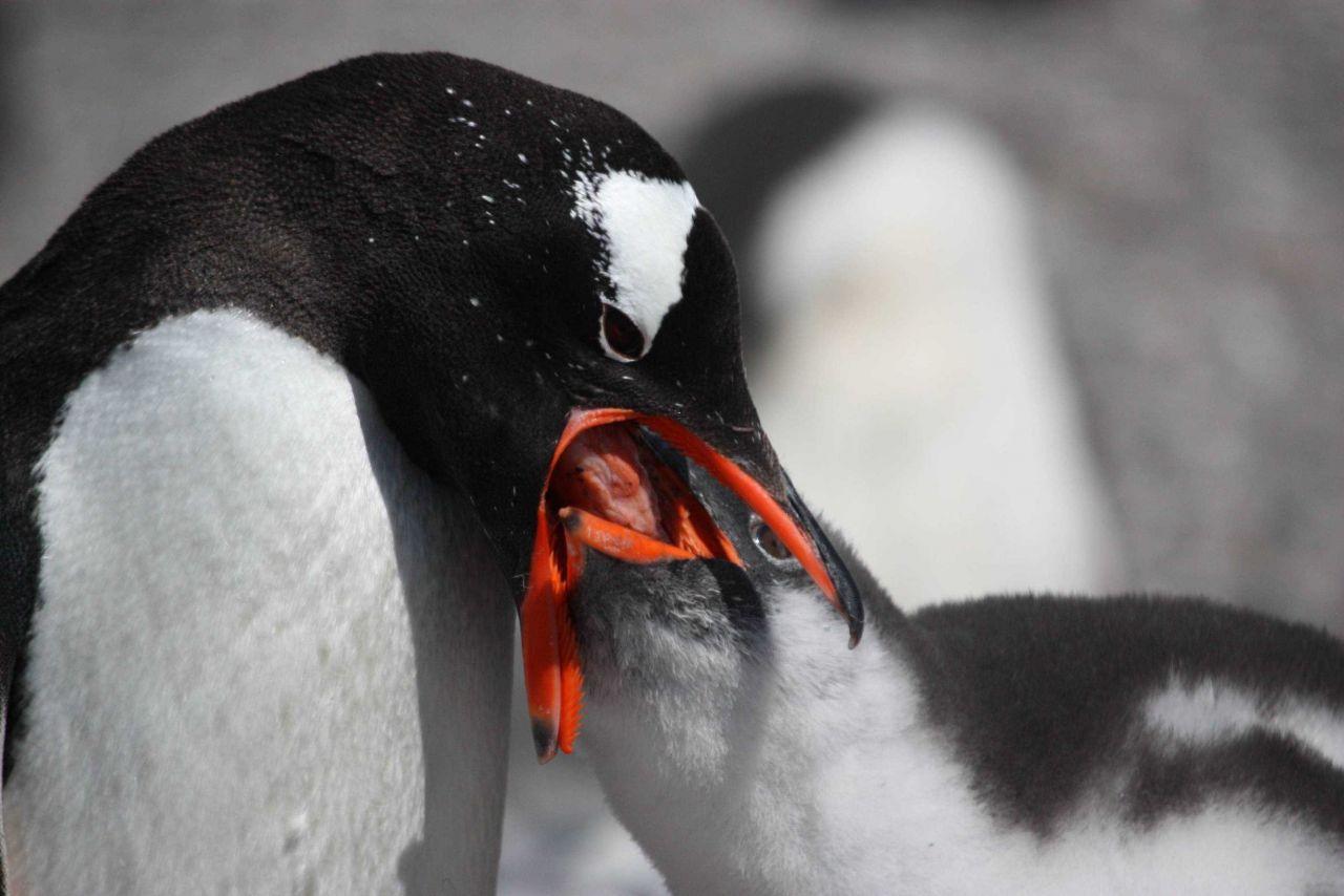 Adult gentoo penguin feeds its chick regurgitated krill. Photo