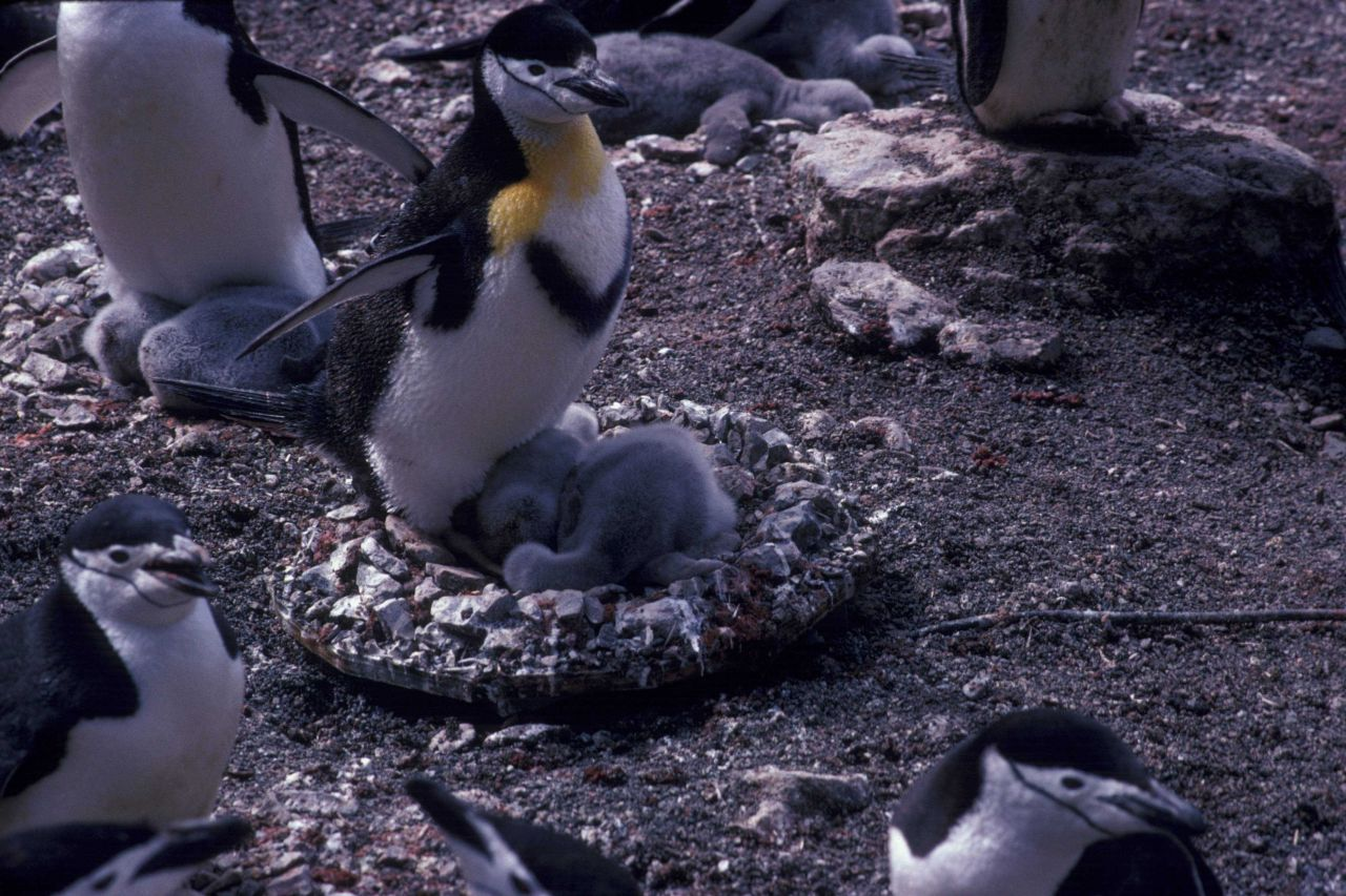 A chinstrap penguin colony at Seal Island, Antarctica. Photo