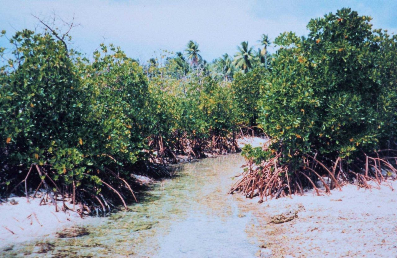 Mangroves along a tidal stream Photo