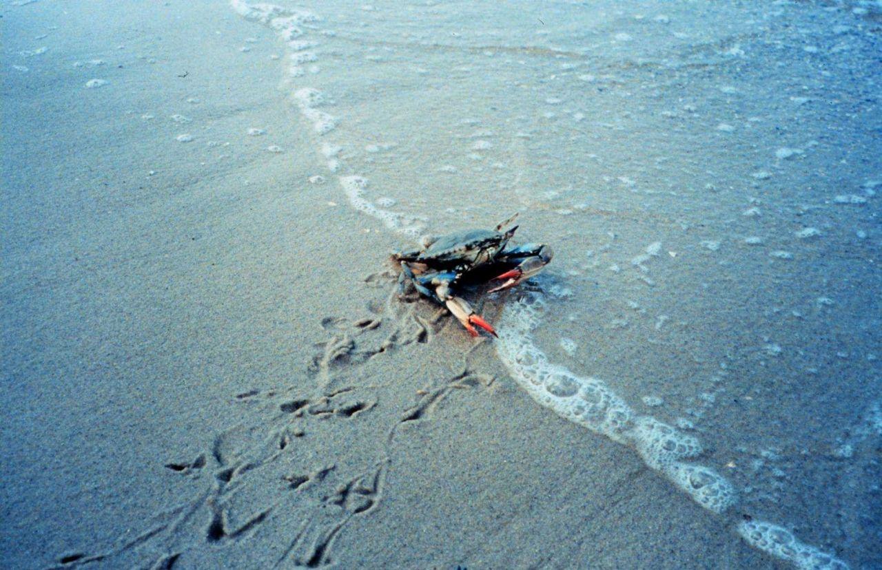 Female blue crab (Callinectes sapidus) on beach Photo