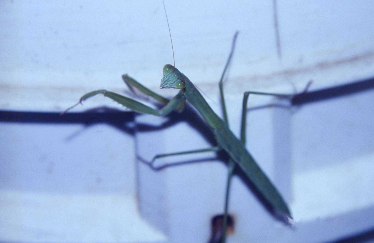Praying mantis, Stagmomantis carolina (Johannson). Photo