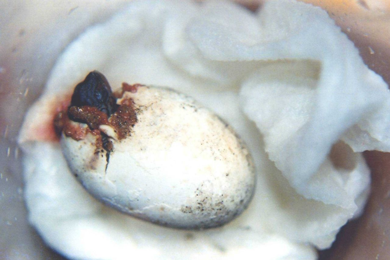 Diamondback terrapin hatchling exiting the shell. Photo