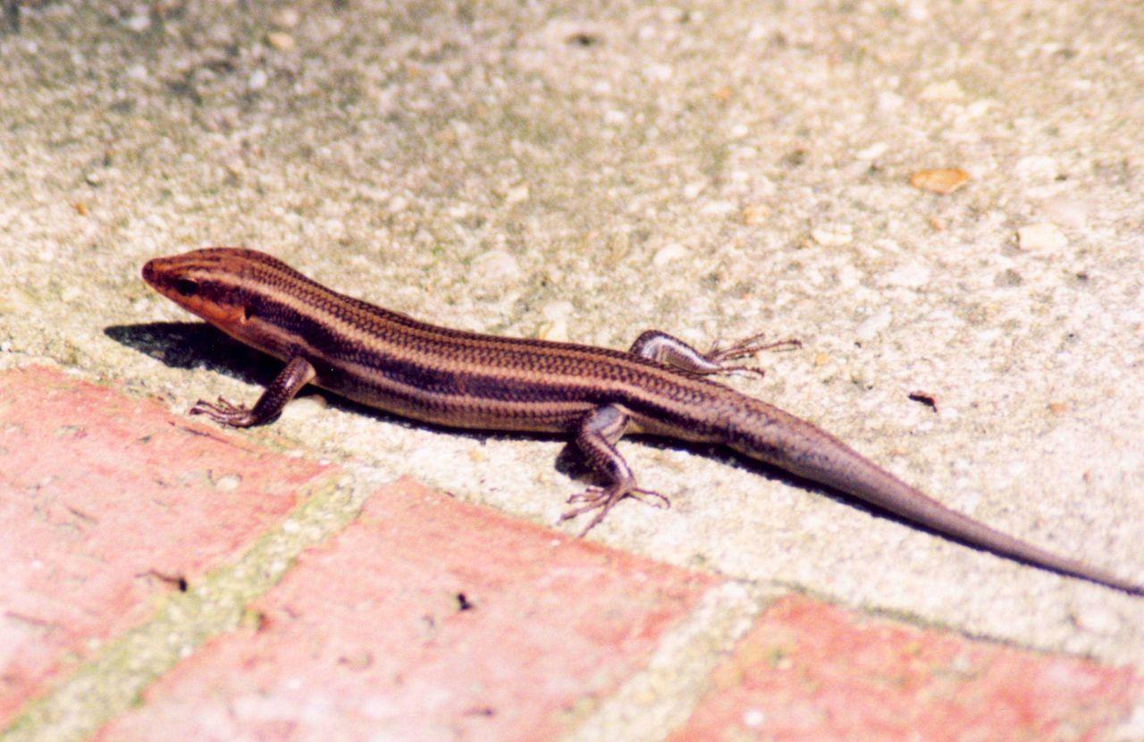 Pine lizard Photo