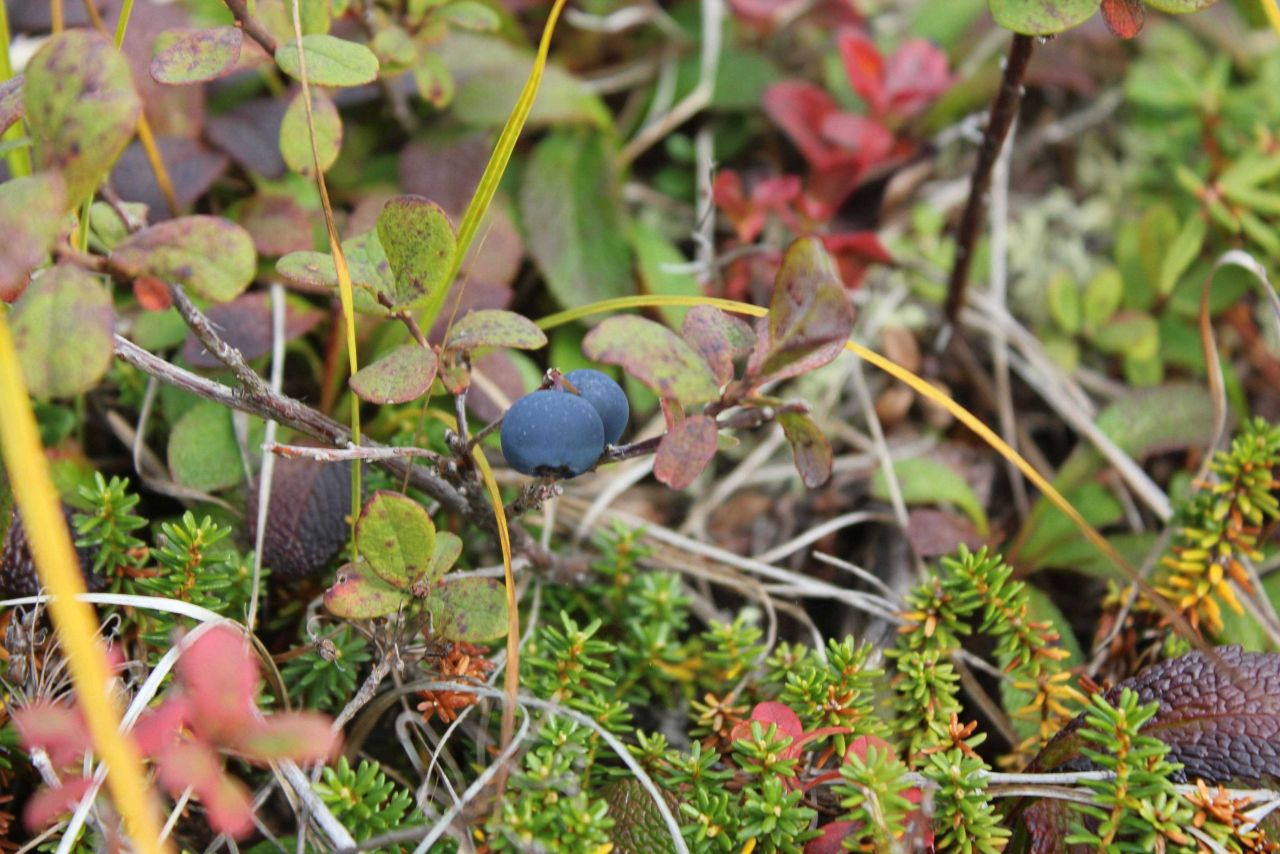 Blueberries on the tundra (Vaccinium sp.) Photo