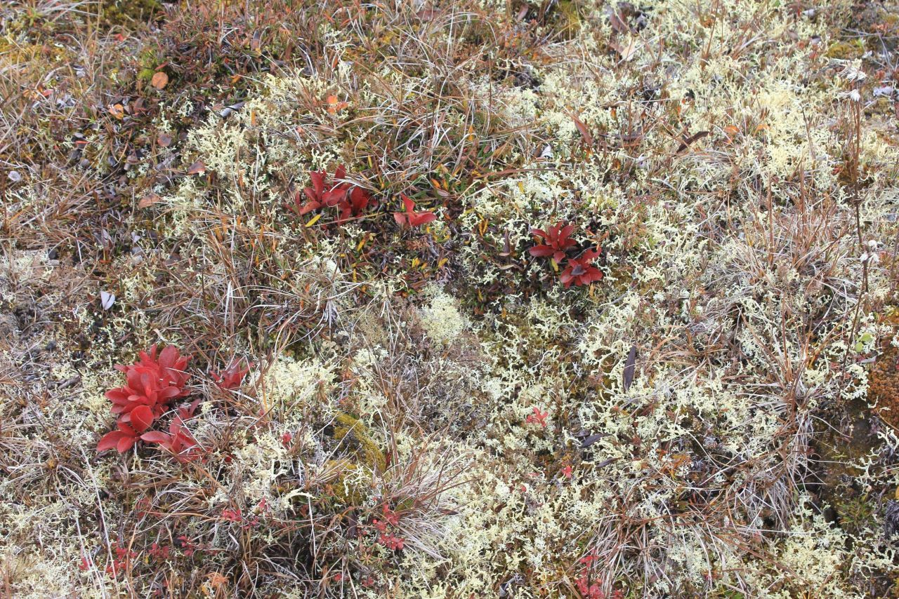 Tundra vegetation in the fall Photo