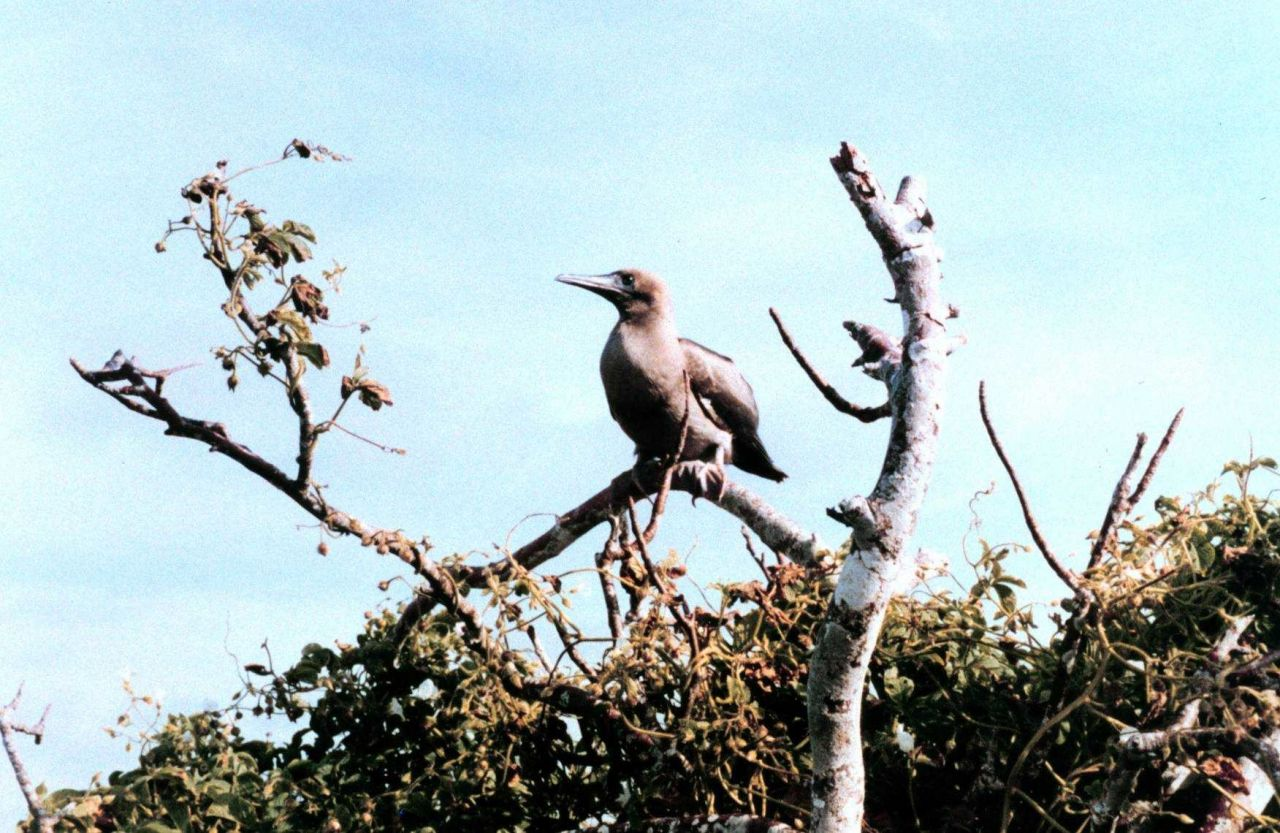 Red-footed booby - Sula sula. Photo