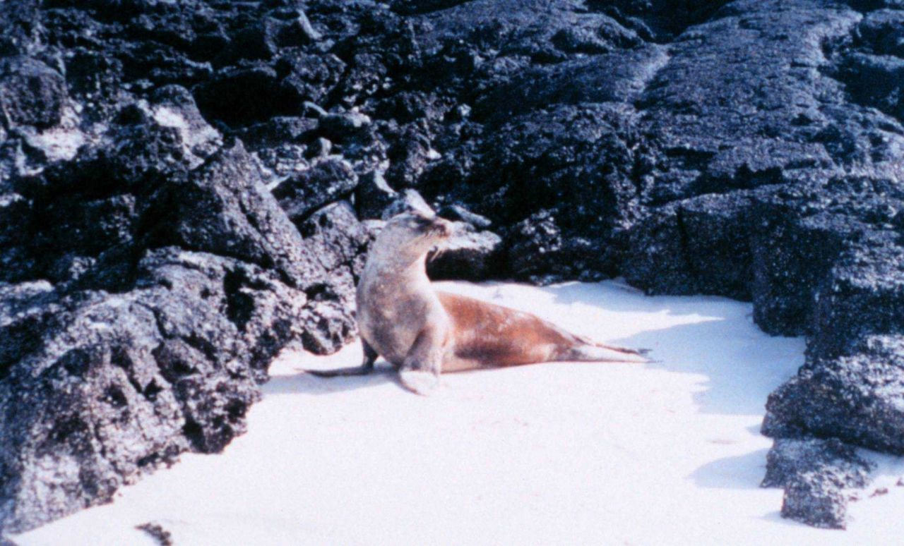 Sea lion on sandy beach with lava rock formations Photo