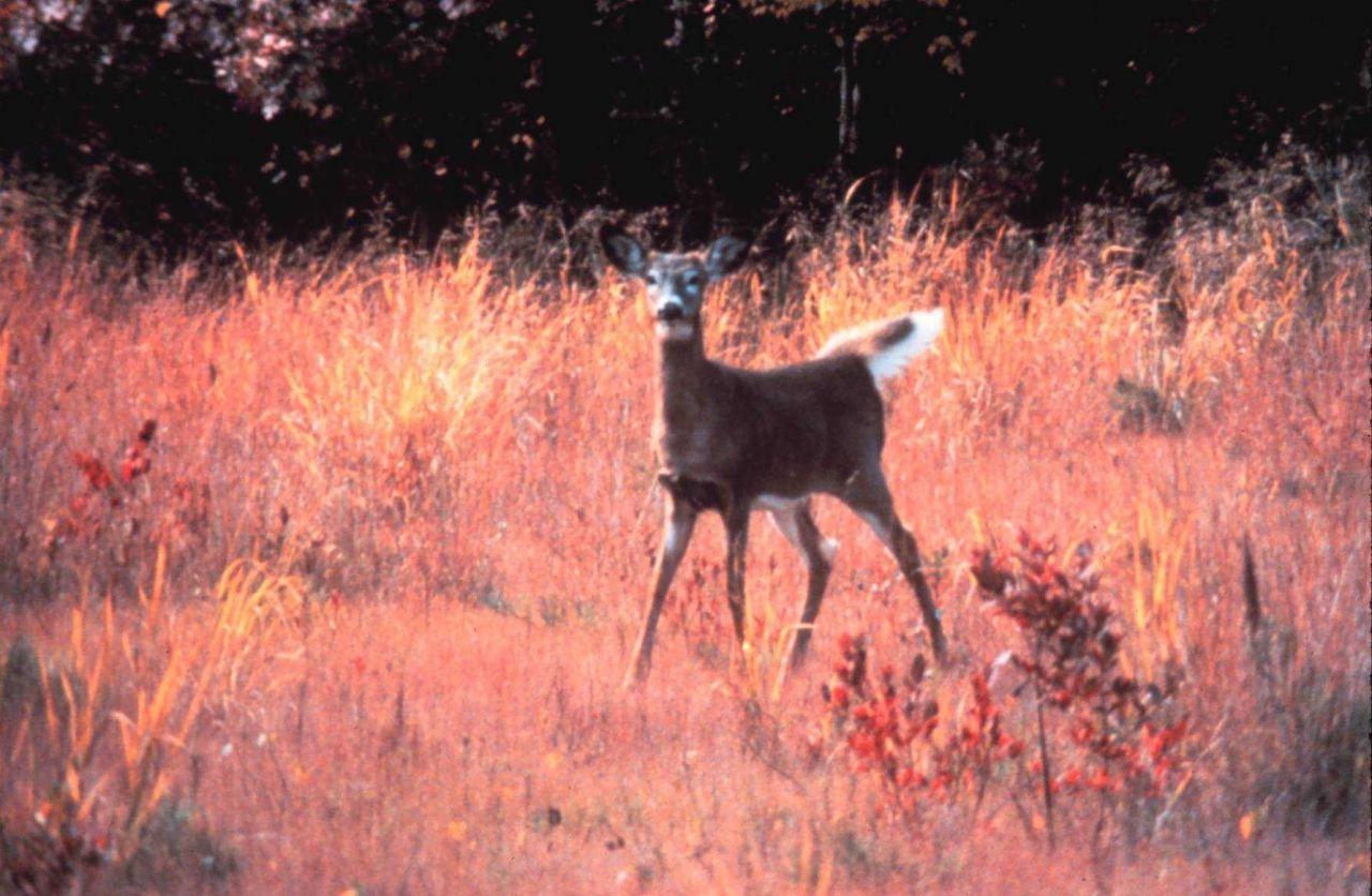 Narragansett Bay National Estuarine Research Reserve White-tailed deer - Odocoileus virginianus Photo
